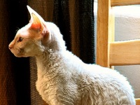 Cornish Rex