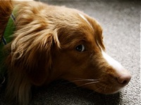 Nova Scotia Duck Toller