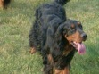 Gordon Setter Rescue Ohio Gordon Setter Rescue Groups