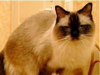 Texas Ragdoll Rescue Groups